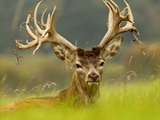 Stag in the park.