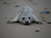 Baby Seal on Winterton-on-Sea beach, just north of the Coast Guard post