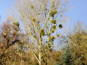 Norfolk Mistletoe