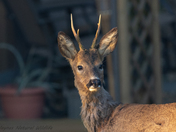 Roe deer in our garden