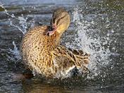 Water off a ducks back!