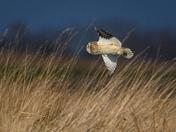 Short-Eared Owl Flypast