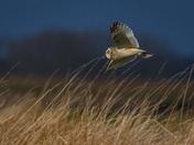 Short-Eared Owl Flypast part 2
