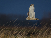 Short-Eared Owl Flypast part 2