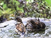 Water - birds bathing