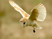 Hunting Barn Owl.