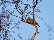 PIGEON SETTLED UP HIGH IN THE TREE