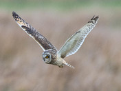 Short-Eared Owl Close-up.