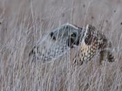Short-Eared Owl Close-up.