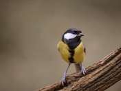 great tit posing for the camera