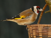 Goldfinch feeds from the basket.