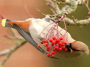 Waxwings  rare visitor.