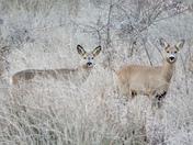 Roe deers on roydon common