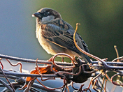 Sparrow in the frost.