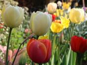 Depth of Field: Tulips