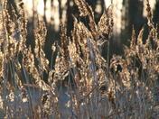 Depth of Field: Reeds