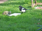 A DUNNOCK,COLLARED DOVES and A MAGPIE