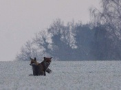 Fox in a frosty field