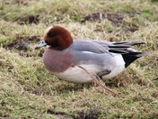 Lonely Wigeon