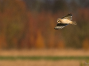 Short-eared owl, Winter sun and trees
