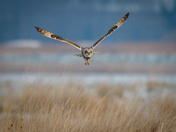 Short-eared owl on ice
