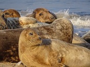 Seals of Horsey Gap
