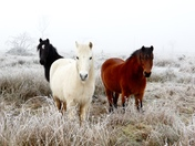 Ponies in the frost
