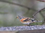 Winter visitor- the Brambling