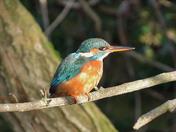 Hadleigh river Brett Kingfisher 31/01/2019
