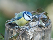 Bluetit at Strumpshaw