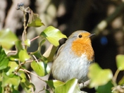 Robin at Strumpshaw