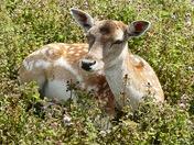 Fallow deer.(photo challenge)