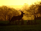 Red deer stag at sunrise on the farm (photo challenge)