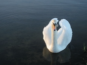 Swan on Whitlingham Broad