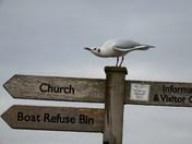 Black Headed Gull