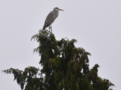 HERON ON TREE TOP