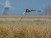 Short-eared owl and windmill