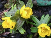 Winter aconites - first flowers of the New Year