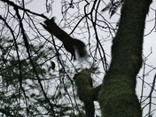 Flying Red Squirrel!