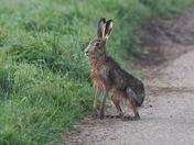 Wet looking Hare.