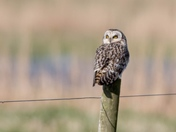 Short-Eared Owl takes a rest.