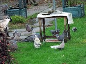 WOOD PIGEONS AND COLOURED DOVES