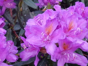 A RHODODENDRON MACRO IMAGE