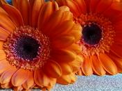 PROJECT 52, MACRO. GERBERA FLOWERS