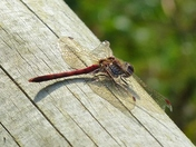 PROJECT 52, MACRO, DRAGONFLY