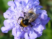 PROJECT 52, MACRO, BEE ON THE CORNFLOWER