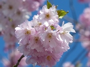 PROJECT 52, MACRO. CHERRY BLOSSOM