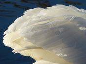PROJECT 52, MACRO. SWAN FEATHERS