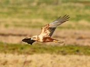 female marsh harrier.