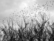 FLOCKS OF BIRDS
